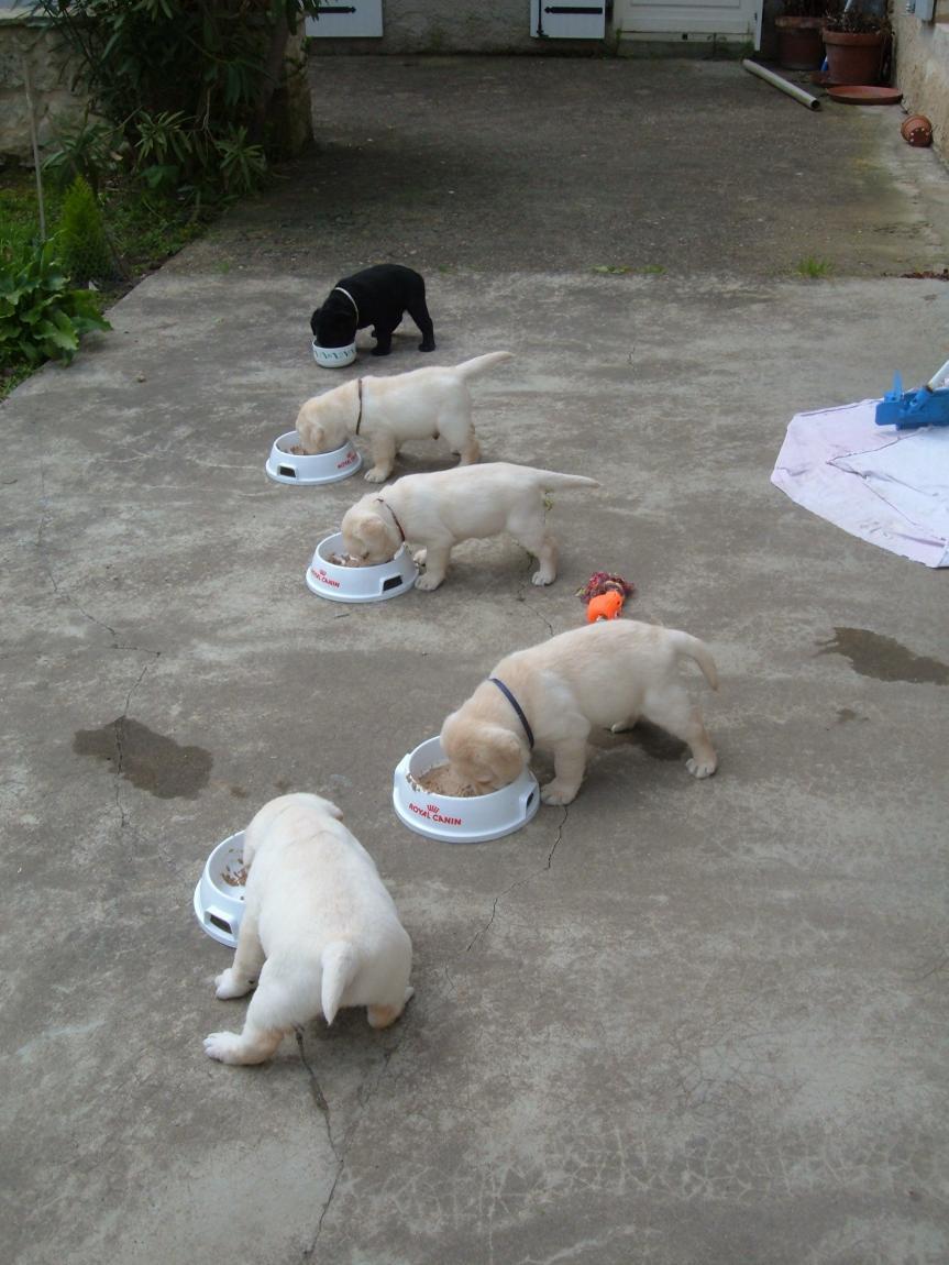 Chiot repas